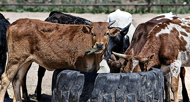 Cows eating from a tractor tyre.png